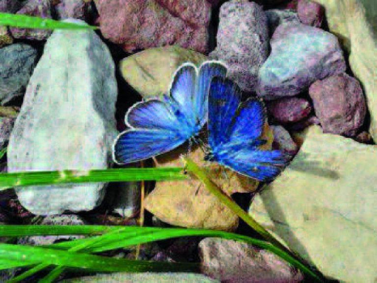 farfalle blu